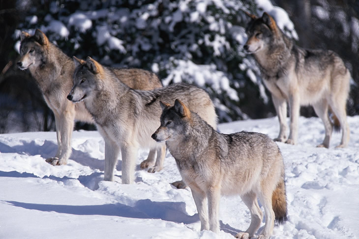 how to help gray wolves
