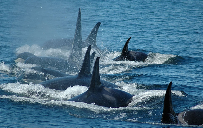 Whale Watching with SpringTide Charters, Victoria, Vancouver ISland, British Columbia