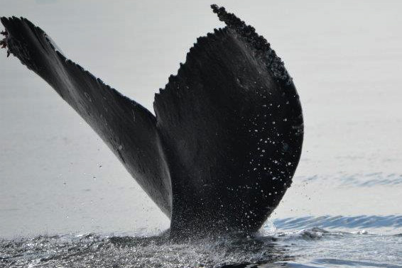 Sidney Whale Watching, Sidney, Vancouver Island, British Columbia, Canada.