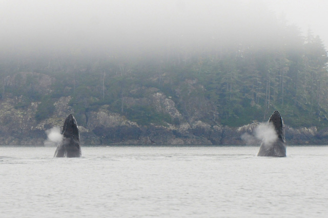 A Spectacular Day of MERS Research on North Vancouver Island, British Columbia. Humpback whales Claw and Zorro Head Lobbing. Photo by Christie McMillan, MERS.