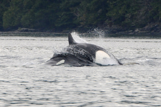 A Spectacular Day of MERS Research on North Vancouver Island, British Columbia. Bigg's killer whale attacking a Steller sea lion. Photo by Christie McMillan, MERS.