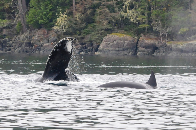 A Spectacular Day of MERS Research on North Vancouver Island, British Columbia. Humpback Whale and Killer Whale. Photo by Christie McMillan, MERS.