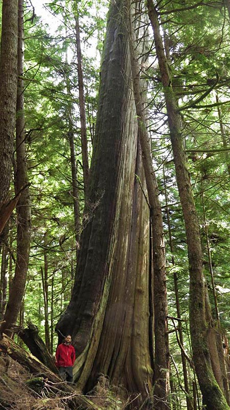 Why Vancouver Island's Walbran Valley rainforest matters: British Columbia, Canada. The Leaning Tower Cedar, Torrance Coste, Sierra Club BC.