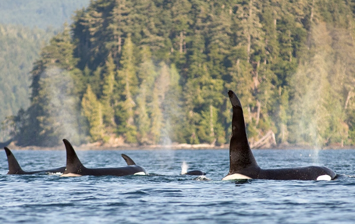 Killer Whale Pod: Orca Dreams offers kayaking, whale watching and luxury camping on Compton Island, Blackney Pass, British Columbia