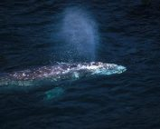 Gray-Whale-off-Vancouver-Island-British-Columbia-Canada
