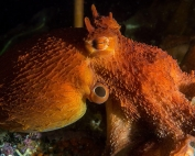 opening-day-and-new-residents-at-ucluelet-aquarium-vancouver-island-british-columbia-giant-pacific-octopus