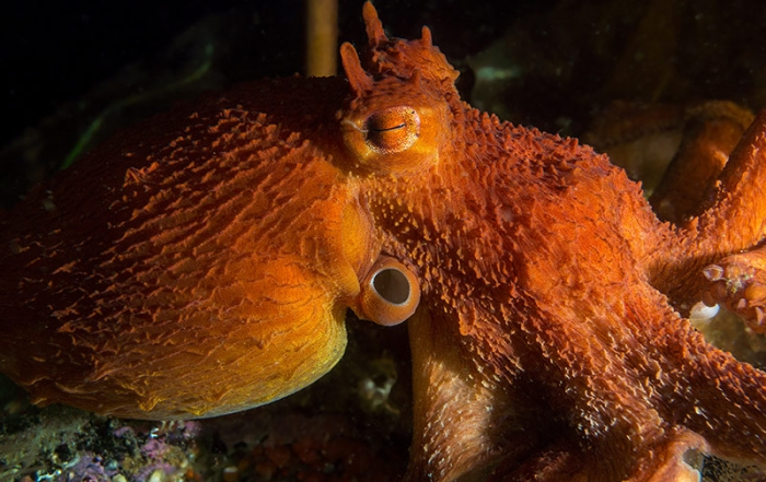 Giant Pacific Octopus: Opening Day and New Residents at Ucluelet Aquarium, Vancouver Island, British Columbia