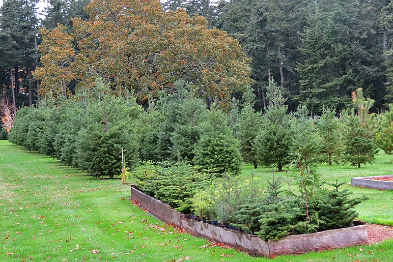 Cut your Christmas Tree the old-fashioned way at Wintercreek U-Cut Christmas Tree Farm, Metchosin, Victoria, Vancouver Island, British Columbia