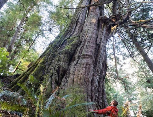 Jurassic Grove of Old-Growth Trees revealed on Vancouver Island