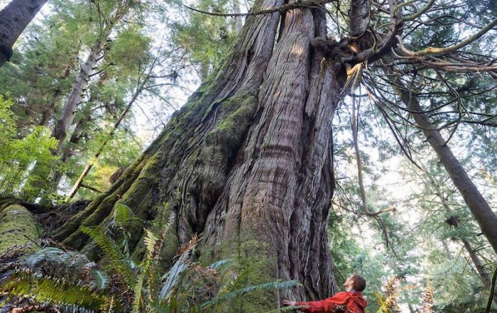 One of several monumental western red cedars located in Jurassic Grove, on southern Vancouver Island, British Columbia.