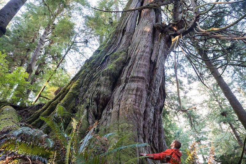 Jurassic Grove Of Old Growth Trees Revealed On Vancouver Island