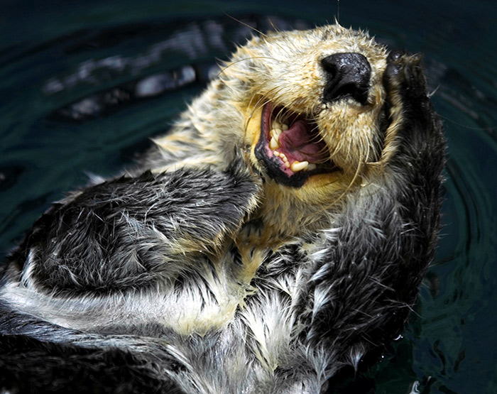 Sea Otter having a good old time on the West Coast of Vancouver Island, British Columbia, Canada