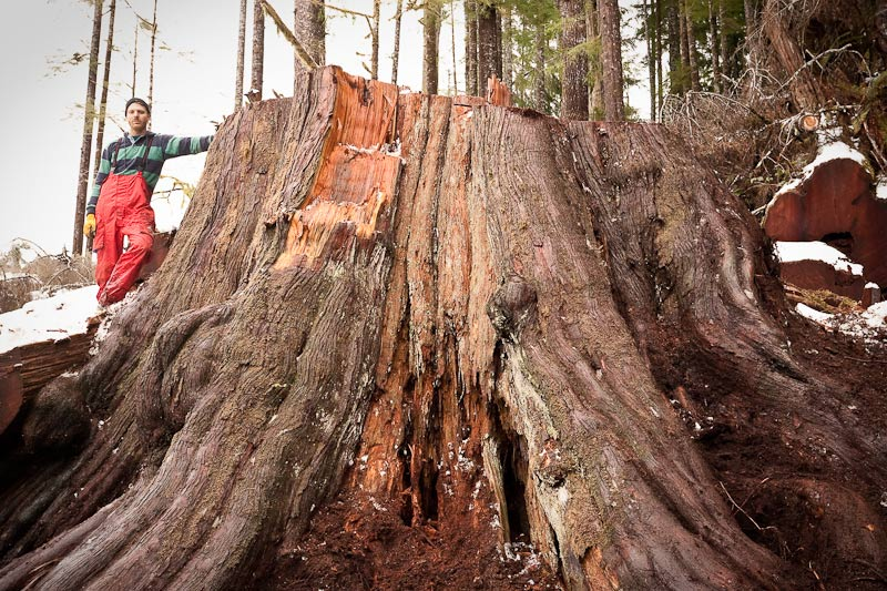 Ancient Forest Alliance, Vancouver Island, British Columbia: Giant Redcedar Stump, Gordon River Valley