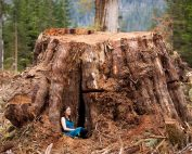 Ancient Forest Alliance, Vancouver Island, British Columbia: Giant Redcedar Stump, Klanawa Valley