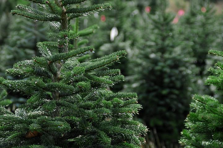 christmas-trees-victoria-vancouver-island-british-columbia-720x478