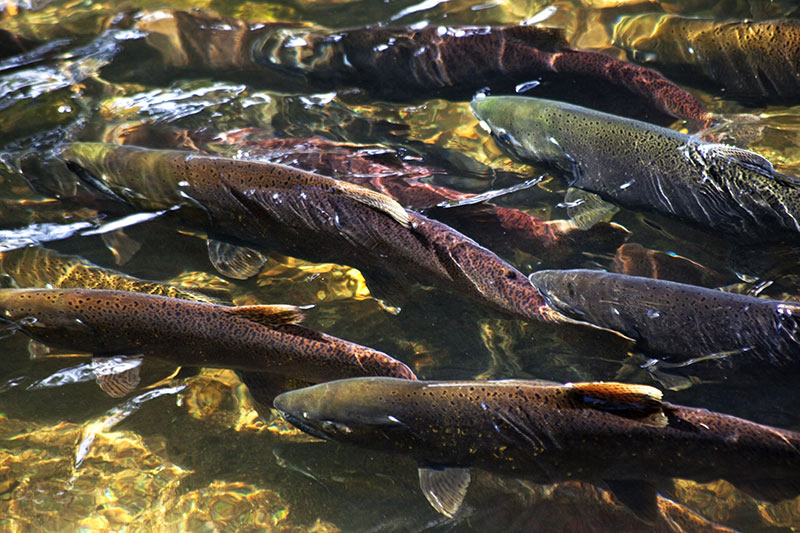 Spawning Salmon, Goldstream Provincial Park, Bamberton LNG Plant by the Malahat First Nation, Victoria, Vancouver Island, British Columbia