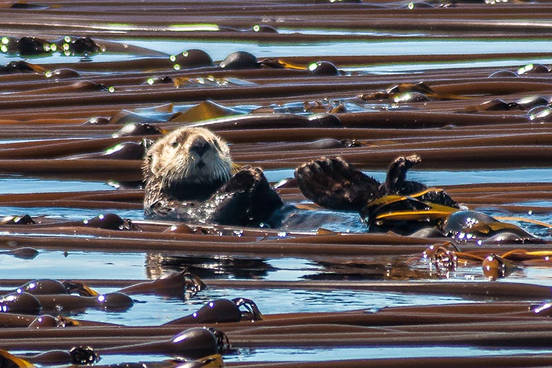 All About Otters, Christine Roper, SpringTide Whale Watching, Victoria, British Columbia