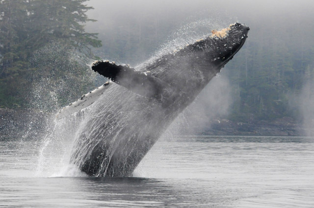 """A Spectacular Day of MERS Research on North Vancouver Island, British Columbia. Humpback whale """"Claw"""" breaching. Photo by Christie McMillan, MERS."""