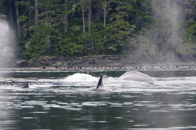 A Spectacular Day of MERS Research on North Vancouver Island, British Columbia. Humpback whales Quartz, Domino and Backsplash. Photo by Christie McMillan, MERS.