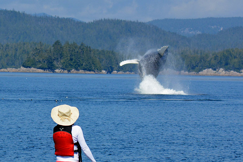 Stand-up Paddler watches a breaching Humpback Whale: Orca Dreams offers kayaking, whale watching and luxury camping on Compton Island, Blackney Pass, British Columbia