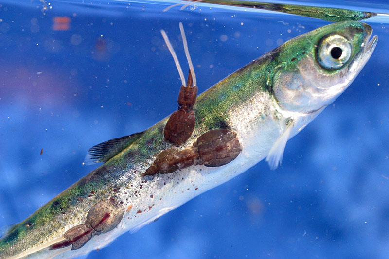 Open-netSalmon Farms ending in Norway but OK for BC? Young Pink Salmon with sealice infestation in the Broughton Archipelago, British Columbia. Photo Copyright: Alexandra Morton