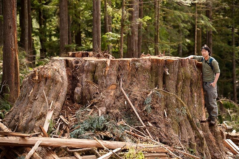 Ancient Forest Alliance, Vancouver Island, British Columbia: Giant Redcedar Stump, Gordon River Valley
