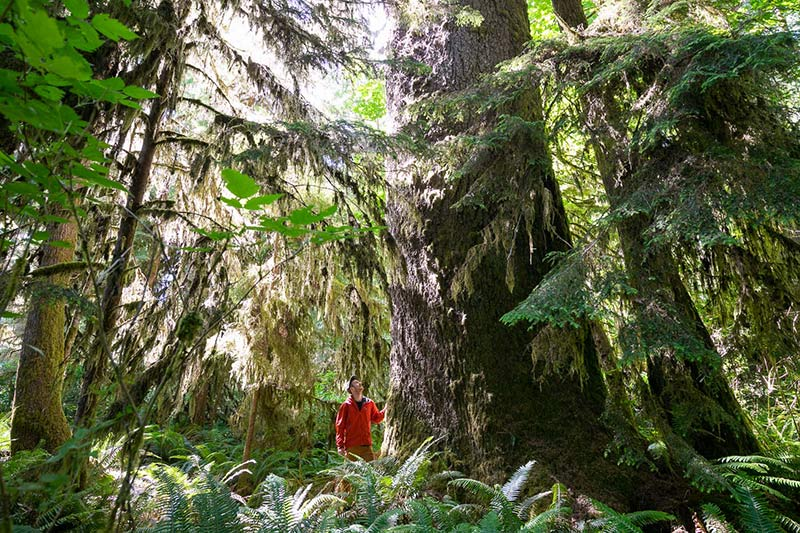 Giant Sitka Spruce in Mossome Grove, Port Renfrew, Vancouver Island, British Columbia, Canada